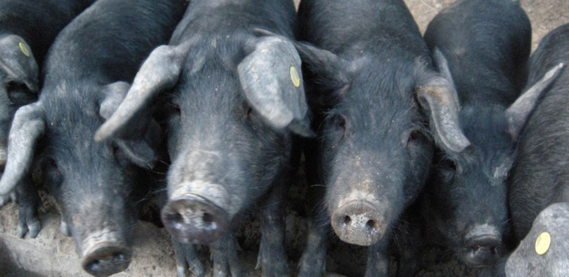 Ragù di capra, cotiche e salsiccia..